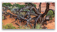 A dead bristlecone pine tree in the Devil's Garden Hiking Area at Arches National Park, Utah, USA
