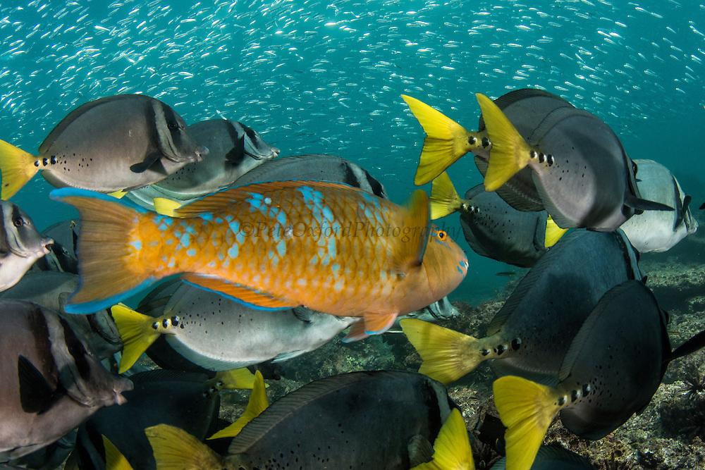 Yellowtailed Surgeonfish (Prionurus laticlavius) and Blue-Chin Parrotfish (Scarus ghobban)<br /> Rabida<br /> Galapagos<br /> Ecuador<br /> South America