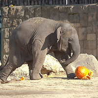 Asiatic elephant (Elephas maximus) are seen with Halloween pumpkin zoo keepers feed them as a Halloween treat in Zoo Budapest and Botanical Garden in Budapest, Hungary on October 31, 2019. ATTILA VOLGYI