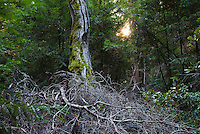 Decaying brush pile on the Pine Ridge Trail, Big Sur, California.