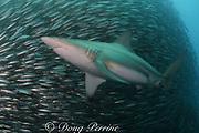 copper shark or bronze whaler, Carcharhinus brachyurus<br /> feeding on baitball of sardines or pilchards, Sardinops sagax, the Wild Coast, Transkei, South Africa (Indian Ocean)