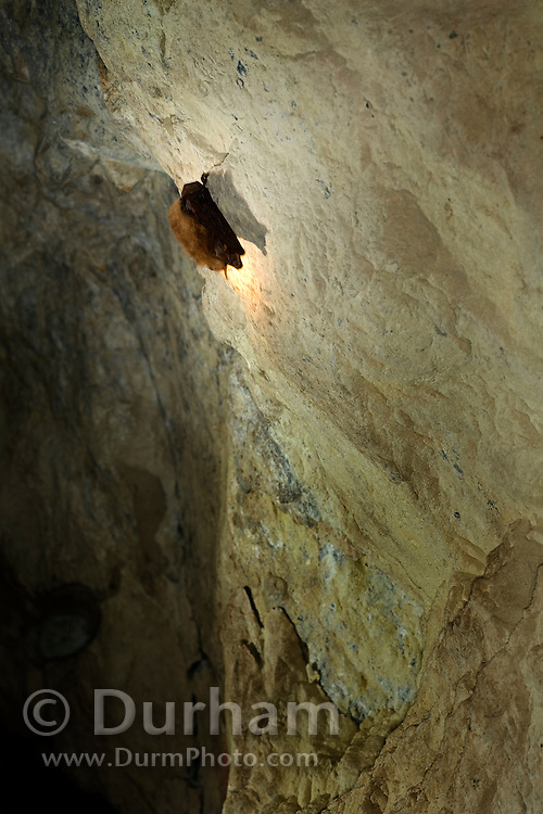 A townsend's big-eared bat (Corynorhinus townsendii) in a state of torpor in the abandoned Gold Stake Mine. As cool Fall weather turns frigid, the bat will go into full hibenation. Coleville National Forest, Washington.