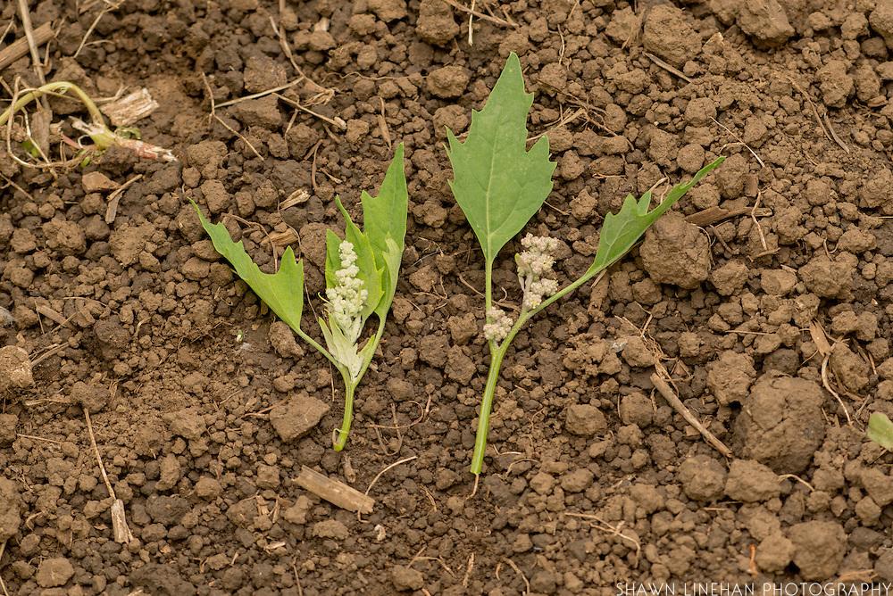 French Vanilla and Cherry Vanilla quinoa bred by Frank Morton of Wild Gareden Seed.