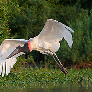 Jabiru stork, in flight. Pantanal, Brazil.