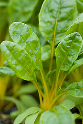 Young baby leaves of yellow Swiss Chard 'Giallo'