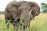 Tanzania wildlife safari African Bush Elephant