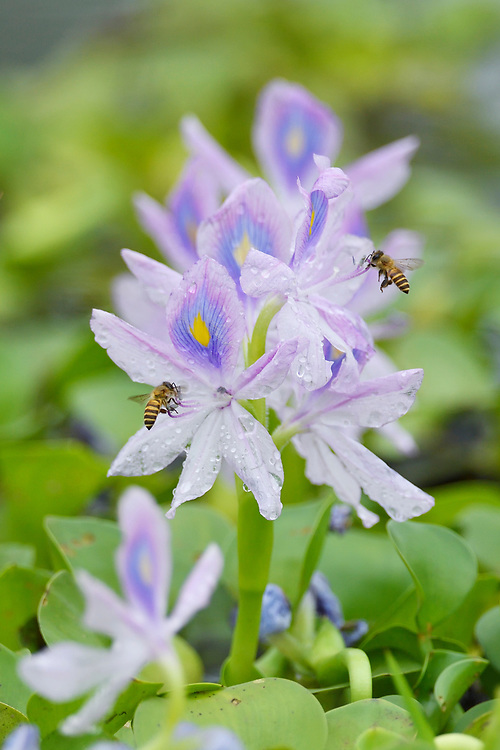 Water hyacinth, Eichhornia crassipes, and bees at Tongbiguan nature reserve, Dehong prefecture, Yunnan province, China