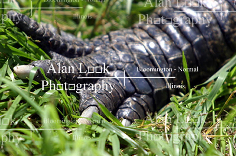 Alligator, front right claw (Photo by Alan Look)