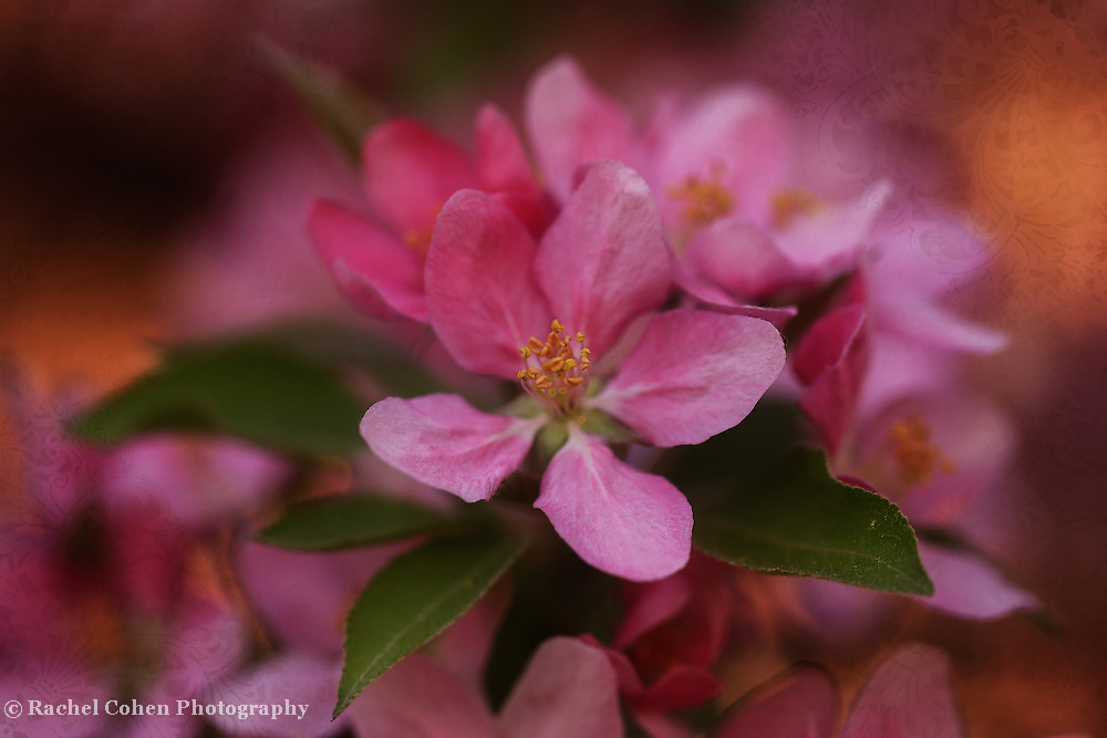 """""""Blossoms and Brocade"""" <br /> <br /> Beautiful deep pink crab-apple blossoms in glowing warm light with a brocade overlay!"""