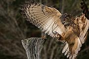 Eurasian Eagle Owl attacking prey at the Center for Birds of Prey November 15, 2015 in Awendaw, SC.