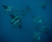 Mobula rays. Wildlife has returned to the Azores islands, following lift on whale hunting in the last 1980's and industrial fishing, as well as the creation of several coastal Protected areas. In recent years, Azores's economy has been boosted by tourism attracted to the rich waters.