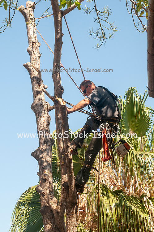 arboriculturist is cutting a large Avocado tree in an urban setting that requires cutting down small sections at a time while climbing to the top of the tree