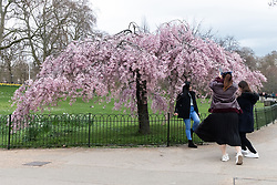 © Licensed to London News Pictures. 25/03/2021. London, UK. Tourists post for photos in front of a Cherry Blossom tree in St James Park. This year the trees have reported to bloom earlier than last year. Photo credit: Ray Tang/LNP
