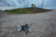 Dead turkey vulture in front of a fracking industry site   Woods County Oklahoma in the Northwestern part of the state where the fracking industry is booming.