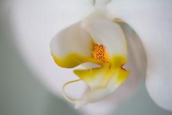 White Phaelenopsis orchid, philippinensis#10