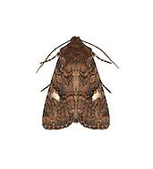 73.223 (2246a)<br /> Oak Rustic - Dryobota labecula