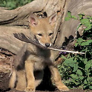 Coyote, (Canis latrans) Pup with raven feather at den. Montana.  Captive Animal.