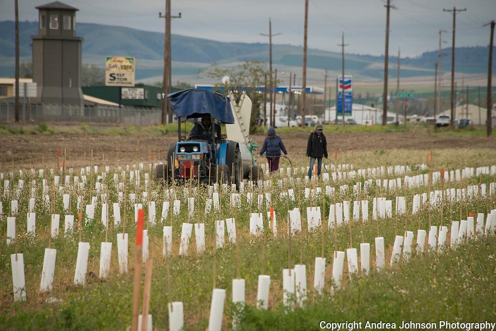 Willamette Valley Vineyards planting in rocks AVA, Milton- Freewater, Oregon