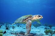 adult loggerhead sea turtle, Caretta caretta, Bahamas ( Western Atlantic Ocean )