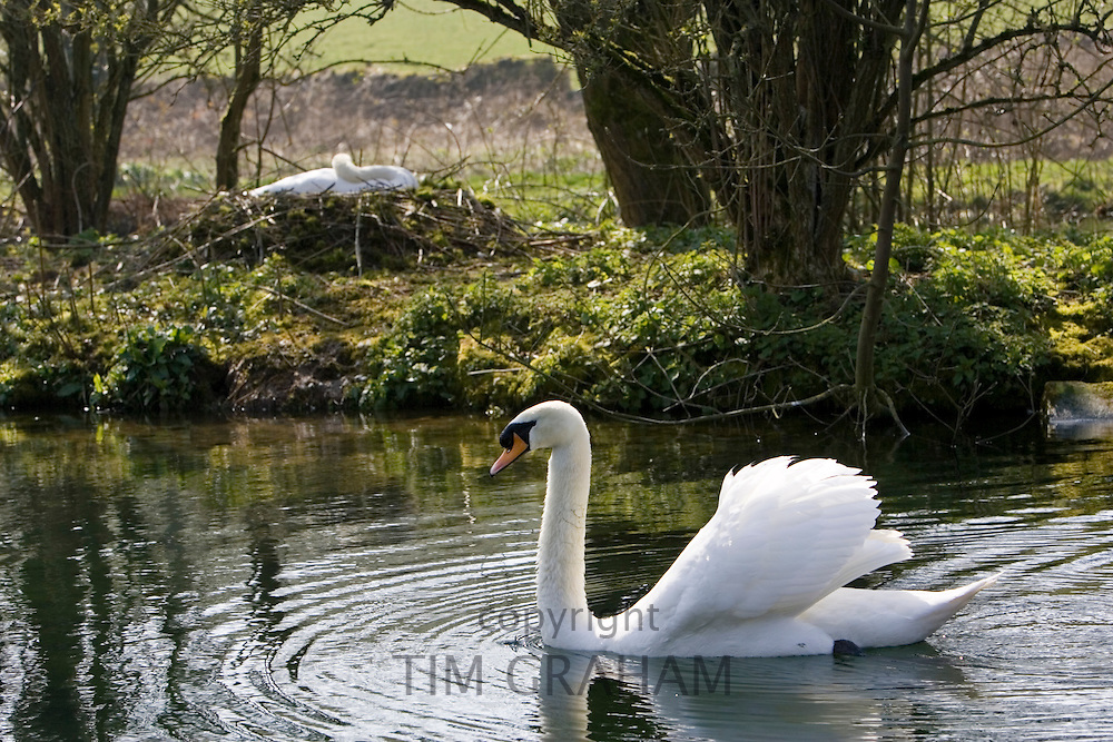 Male mute swan protects female nesting on on island in middle of lake, Donnington, Gloucestershire, The Cotswolds, UK