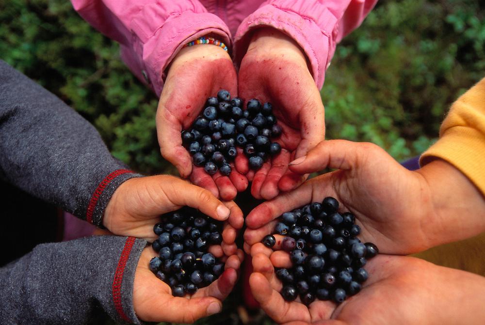 Children picking blueberries, Vaccinium myrtillus, Sweden.