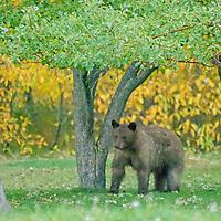 A Cinnamon Bear (subspecies of a black bear)  wanders into a back yard near Bozeman Montana.