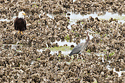 Bald Eagle (Haliaeetus leucocephalus)(Halietus leucocephalus) and a Great Blue Heron (Ardea herodias fannini) share space on a Pacific Oyster bed at Big Beef Creek  on the Hood Canal of Puget Sound in Washington state, USA