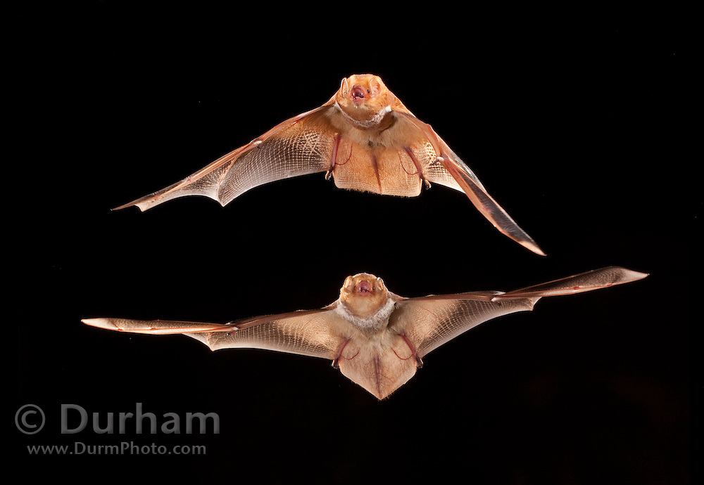 Male eastern red bat (Lasiurus borealis) and a female (below). The males are often a brighter red than the females Photographed near the Conasauga River in the Chattahoochee National Forest, Georgia. Digital composite