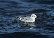 Bonaparte's Gull - Chroicocephalus philadelphia - 1st winter