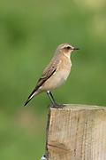 Wheatear, Oenanthe oenanthe, Stodmarsh National Nature Reserve, United Kingdom, adult, perching on post