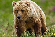 North America, Canada, Yukon Territory, Destruction Bay.  Grizzlie Bear (Arctos Horribilis) Grazing on Plants alongside the Alaska Highway