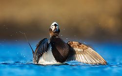 Long-tailed Duck (Clangula hyemalis) in Spitsbergen, Svalbard Spitsbergen, Svalbard