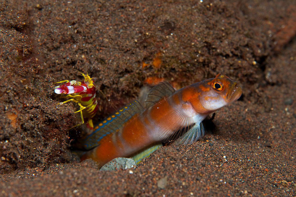 Flagtail Shrimp Goby (Amblyeleotris yanoi) and Alpheid shrimp photographed in Tulamben, Bali, Indonesia.
