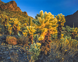 Saguaro National Park image with jumping cholla at sunset and deep blue sky