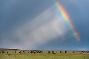 Wildebeest (Connochaetes taurinus), Masai Mara, Kenya.