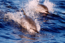 Long-snouted Spinner Dolphins, riding on swell at sunset, Stenella longirostris, Kona, Big Island, Hawaii, Pacific Ocean