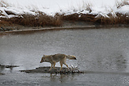 Coyote Lands after finishing a jump of a small stream along the Madison River, Yellowstone