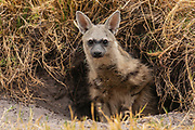 """A rare sighting of a very curious """"earth-wolf"""" or aardwolf (Proteles cristata) sitting in the entrance to its den, Savuti, Botswana"""