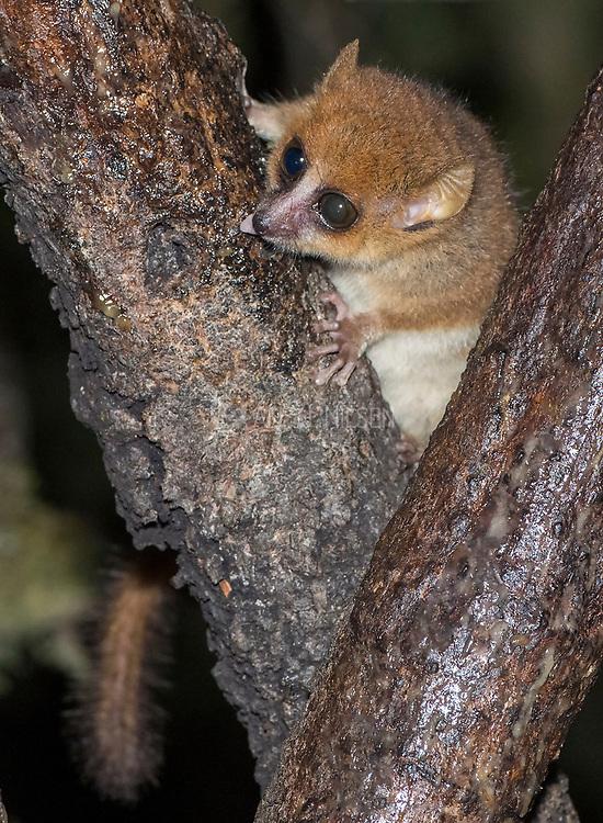 Rufous mouse lemur (Microcebus rufus) from Ranomafana National Park, Madagascar.