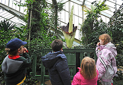 "©London News pictures...27/10/2010.  Children hold their noses. The 'flower' that smells like rotting meat is flowering today in its full smelly bloom. The display could last for two more days - titan arums are usually spent within three days of flowering. This morning, the flower began to unfurl and reveal it's blood-red interior. The pungent aroma has slowly spread around the Princess of Wales Conservatory, described as a mixture of rotting flesh and boiled cabbage. This strong smell has earned titan arum the name of 'corpse flower'. Phil Griffiths, Head of Glasshouses, at Kew Gardens said, ""The titan arum is one the most dramatic flowerings in the natural world and is truly remarkable. They usually only last for three days so visitors should get down to the Gardens as soon as they can to see the first of the titan arums in bloom"". The titan arum is the world's largest 'flower' and is native to Sumatra where it lives in moist rainforest conditions. In the wild, its enormous red flower and pungent aroma becomes an irresistible invitation to sweat bees and carrion flies."
