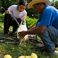 Community farmers harvest their plot at the Nuestras Raices farm in Holyoke, Massachuestts.