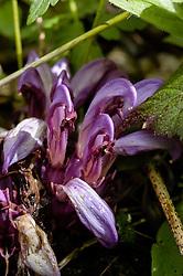 Prachtschubwortel, Lathraea clandestina