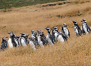 Moulting adult and young  Megellanic Penguins (Spheniscus magellanicus) at their nesting colony on Carcass Island, Falkland Islands. 15Feb16