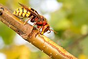 Hornet (Vespa crabro) drinking sap from birch sapling. Surrey, UK.