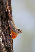 A brown anole lizard displays its neck frill on Anna Maria Island, FL on July 1, 2017.