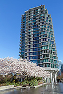 Akebono Cherry trees blooming next to a fountain in the West End of Vancouver, British Columbia, Canada.  Photographed from the sidewalk of W. Georgia Street close to Stanley and Devonian Harbour Parks.