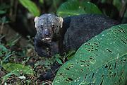 Tayra (Eira barbara senilis)<br /> Mashpi Rainforest Biodiversity Reserve<br /> Pichincha<br /> Ecuador<br /> South America