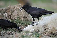 Raven, Corvus corax, on a dead sheep, Parque Natural Hoces del Rio Riaza, Monejo de la Vega, Segovia, Spain