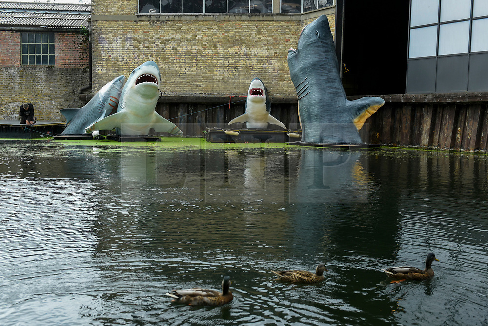 © Licensed to London News Pictures. 21/08/2020. LONDON, UK.  SHARKS! by architect Jaimie Shorten is unveiled in East London as the winner of this year's annual Antepavilion Commission.  The commission offers emerging architects, artists and makers an opportunity to create new work for temporary display.  The work comprises a group of full scale replica sharks - two Great Whites, a Tiger Shark and two Megalodon 'dinosaur' sharks - installed in the Regents Canal at Hoxton Docks, Haggerston.  Photo credit: Stephen Chung/LNP