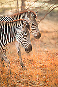 Pair of Zebra on the Luangwa River Valley, Zambia, Africa